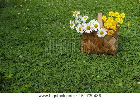Yellow and white camomiles in a small wicker basket on a green lawn in the summer