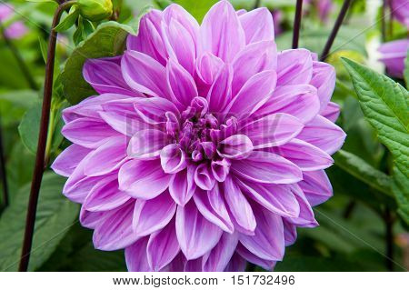 Flower Dahlia Lilac time with green leaf background