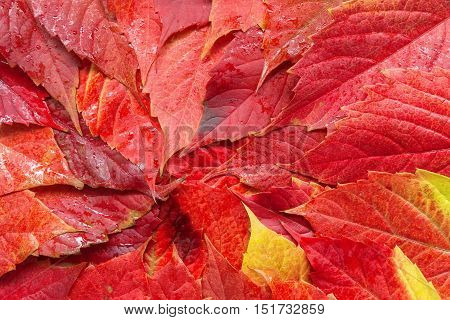 autumn leaves background / bright colors of summer the beauty of nature
