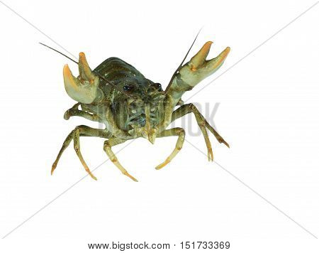 Living green crayfish isolated on white background