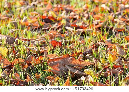 Fallen autumn leaves on bright green grass in sunny morning light. Fall season nature background. Top view