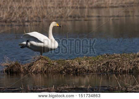 A whooper swan standing on one leg.