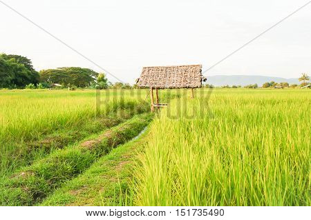 rice field or paddy field and mountain