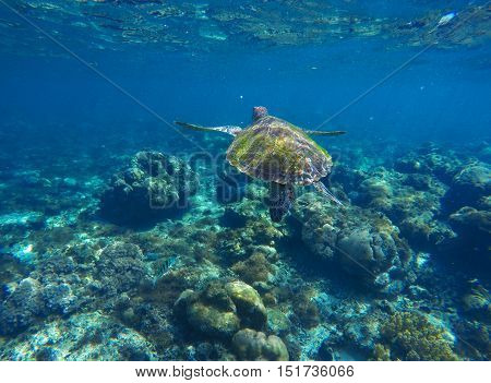 Sea turtle in blue water. Green sea turtle diving in coral reef. Sea tortoise portrait. Green turtle swims in sea. Snorkeling with turtle in lagoon. Aquatic image for banner template with text place