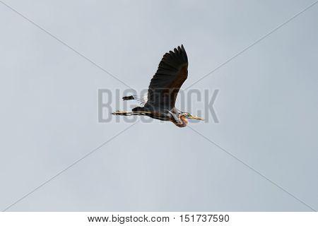 Purple Heron in flight against overcast sky as background