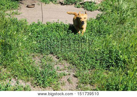 Ginger dog running on the green grass