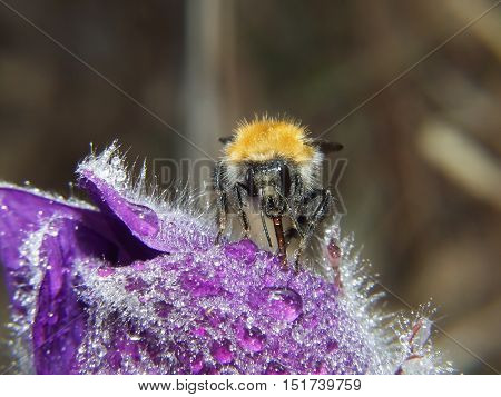 Bumblebee Sits On A Flower