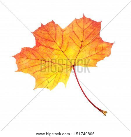 One Maple (Acer platanoides) leaf in autumn colors isolated on white backgrund.