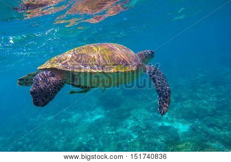 Sea turtle in blue water. Green sea turtle near sea bottom. Sea turtle closeup. Green tortoise swimming. Snorkeling with turtle photo. Nature image for banner template or poster with text place