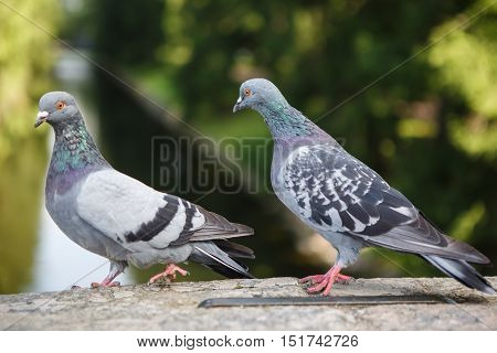 Pair of grey pigeons lovers great. Urban bird dove close. World of wild animals. The couple birds.