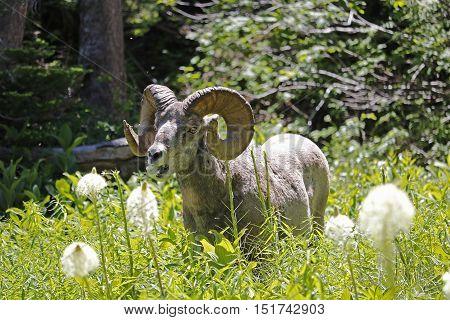 Bighorn Sheep Eating Beargrass