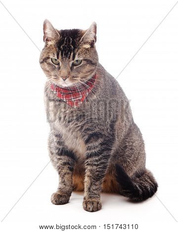 Domestic Cat with red checkered scarf sitting isolated on white background.
