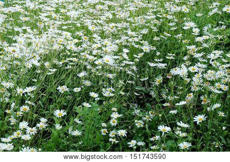 background field of daisies meadow green summer daisy