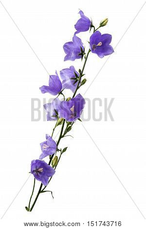 blue bell beauty bouquet isolated on white background
