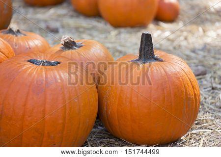 Large pumpkins on hay for sale, pumpkin patch