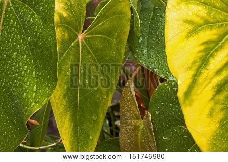 Rain Covered Anthurium Leaves In Shades Of Yellow And Green