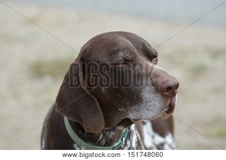 A German shorthaired pointer dog with a sweet termperment.