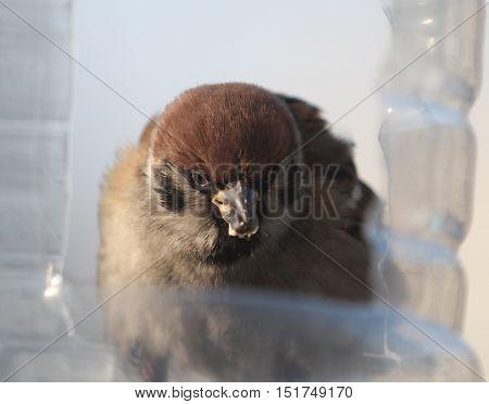 nature, animal, fauna, bird, Sparrow, Sparrow, passerine, uorobenzene, friends, bullies