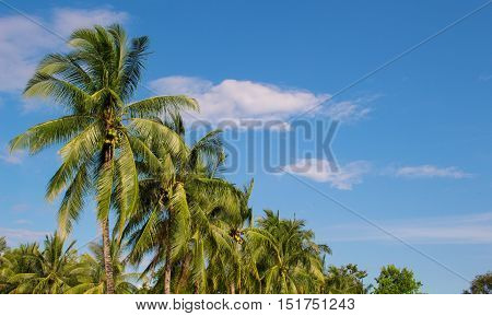 Palm trees and sky tropical landscape. Sunny day on exotic island in Asia. Coco palm tree leaf and crowns on blue sky background. Tropical nature. Coconut palm garden. Optimistic image with text place