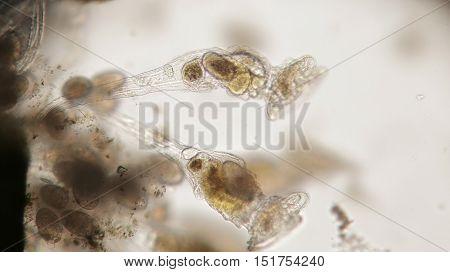 Group Of Freshwater Rotifer Or Rotifera, Wheel Animals. Bentic Organism Filtering Water By Flagella