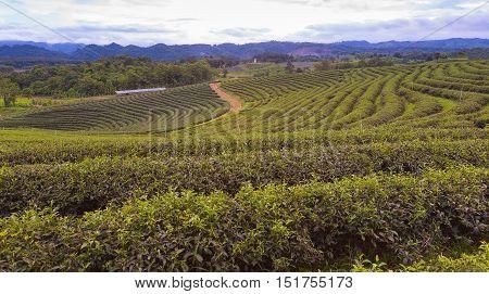 Green tea plantation over high hill, natural landscape background