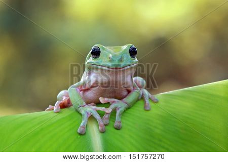 Dumpy frog, tree frog above the leaf