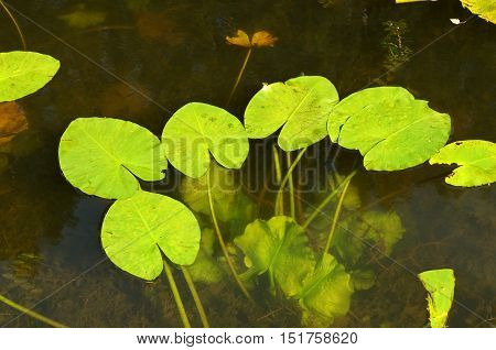 The leaves of the water Lily on the pond's surface.Flowering is over.