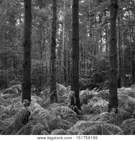 Beautifully Toned Black And White Landscape Of Woodland In Autumn Fall Season