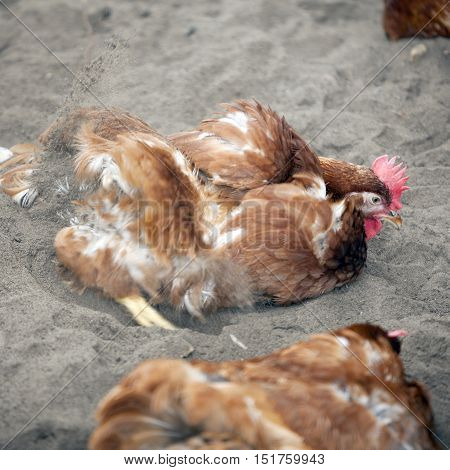 brown chicken outside poultry farm in the netherlands near utrecht takes sand bath