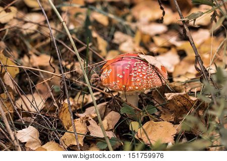 Single fly agaric in fallen yellow leaves of silver birch in autumn forest