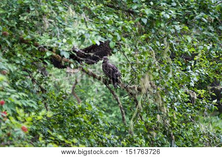 Golden Eagle (Aquila chrysaetos) male and female sit on a branch in Mora Beach Washington state USA - serial picture 1 of 4