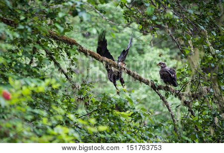 Golden Eagle (Aquila chrysaetos) male and female sit on a branch in Mora Beach Washington state USA - serial picture 3 of 4