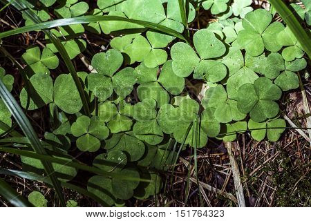Green clovers with little yellow flower and micro water drops
