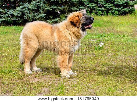 Caucasian Shepherd Dog puppy looks. The Caucasian Shepherd Dog puppy stands in the park.