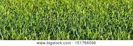 Detail from Grass Panorma as Background. Outdoor shot.