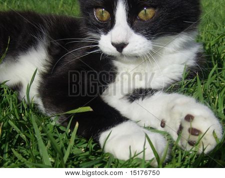 Kitten Lying on Grass