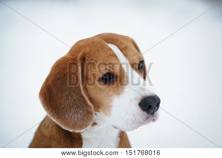 cute beagle dog outdoor portrait in winter, shallow focus