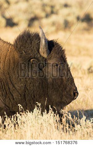 Bison portrait in field of Hayden Valley of Yellowstone
