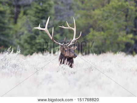 Bull elk ruminating in deep grass in meadow