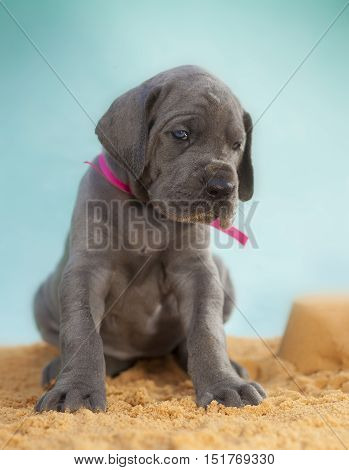 Purebred Great Dane puppy on sand trying to figure out the camera