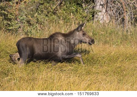 Young moose walking in deep grass next to pond