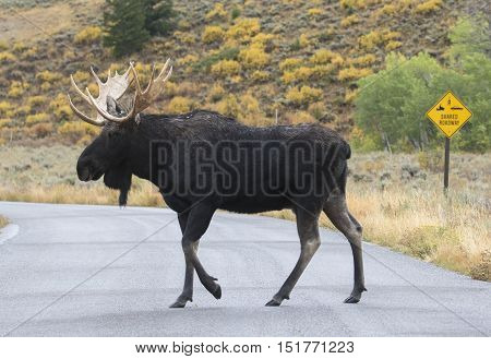 Bull moose crossing road with
