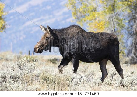 cow moose walking in sagebrush with cottonwood and aspen