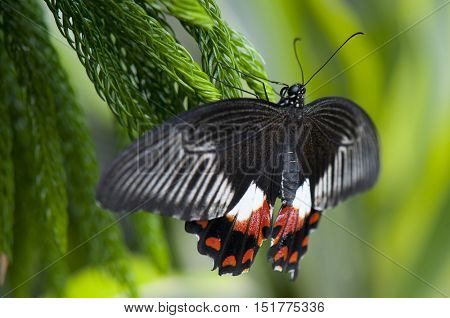 Female common mormon (papilio polytes) butterfly perching on a tree
