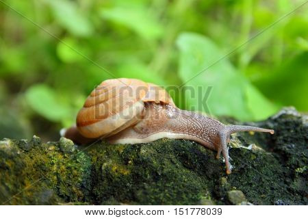 Close-up freshwater snail on a stone in forest