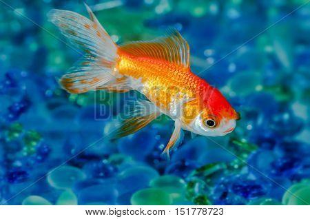 Gold fish goldfish single one in aquarium close up