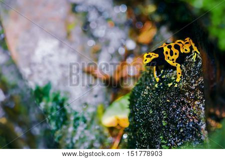 Yellow-headed poison dart frog in its natural habitat
