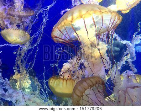 Jellyfish with illuminated light swimming an aquarium.