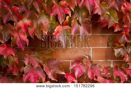 Red Maple leaves Cascading down a Brick Wall during the fall and autumn season with an opening exposing the brick wall for copy space