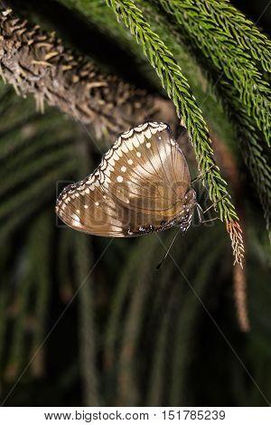 Great Eggfly Butterfly